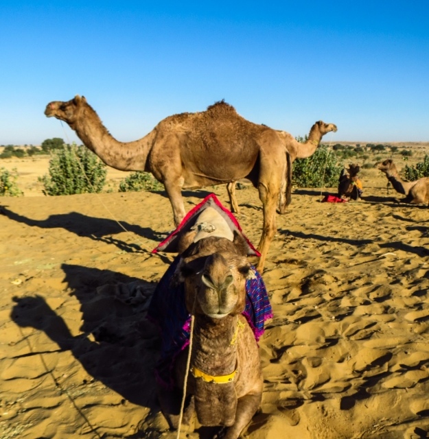 three-headed-camel-jaisalmer-desert