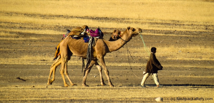 young-camel-driver-leads-camel-jaisalmer