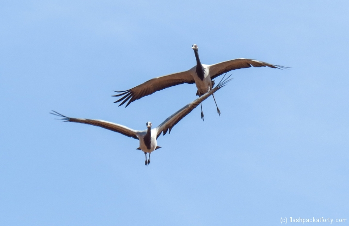 migrating-birds-in-flight-jaisalmer
