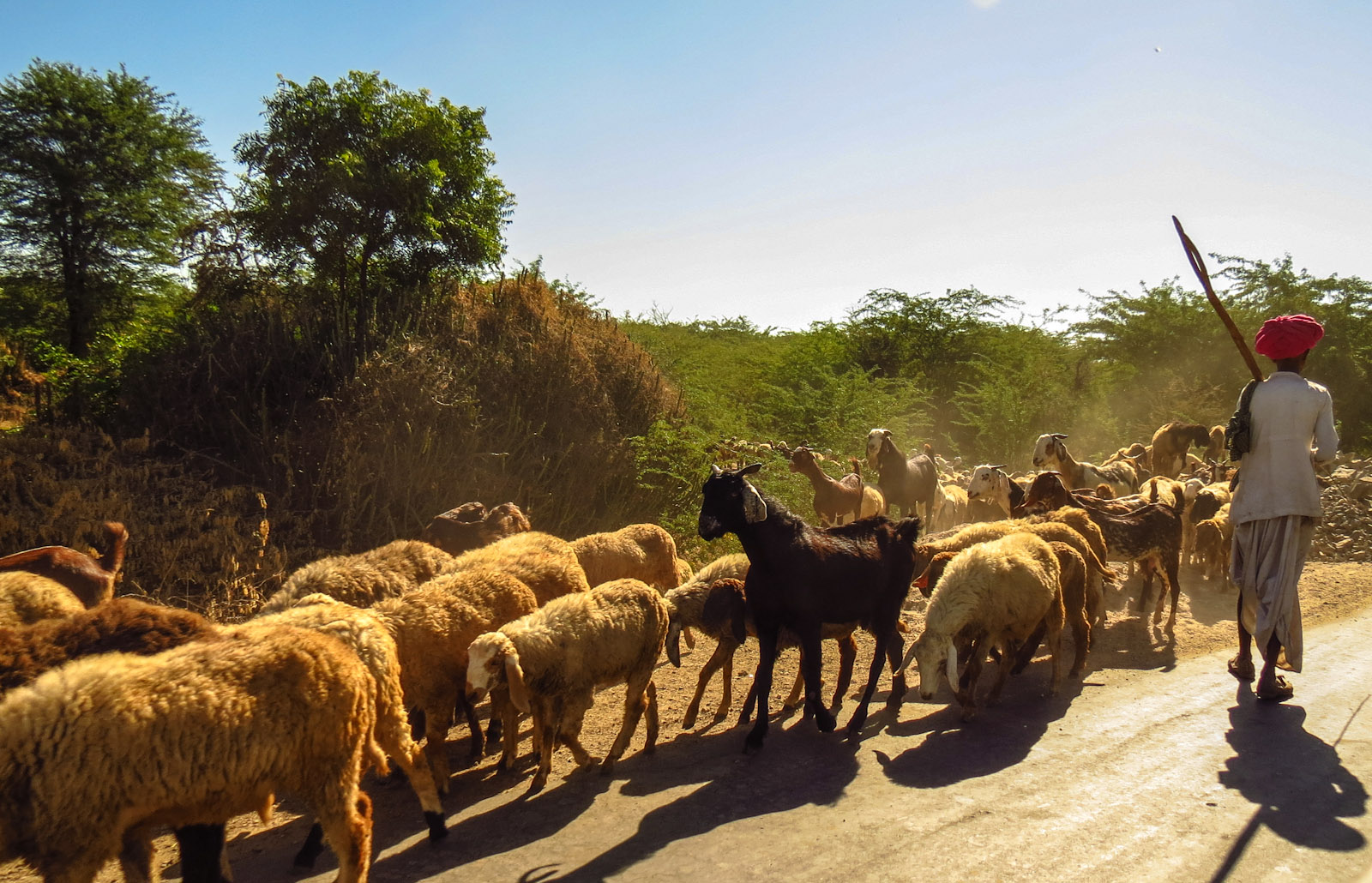 sheep-and-goat-herding-udaipur