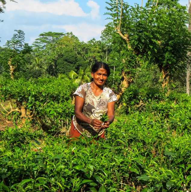tea-picker-kandy