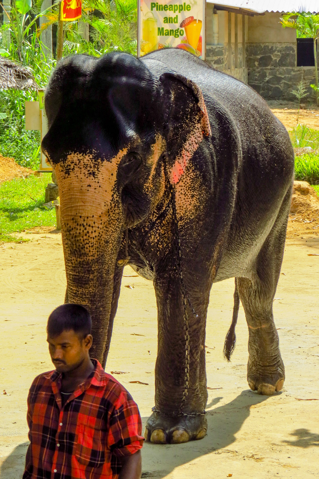 mahout-and-elephant-kandy