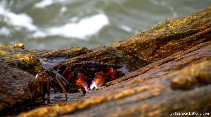 rock-crabs-ezhara-beach-kannur