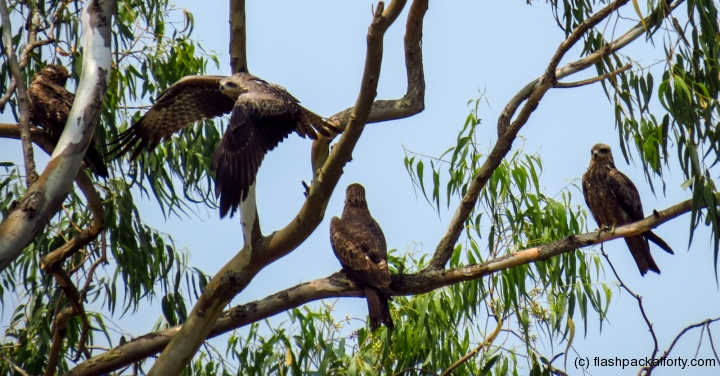 birds-of-prey-in-tree-kerala-kannur