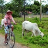 cow-and-cyclist-kep