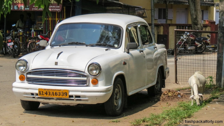 ambassador-car-and-goat-fort-kochi-india