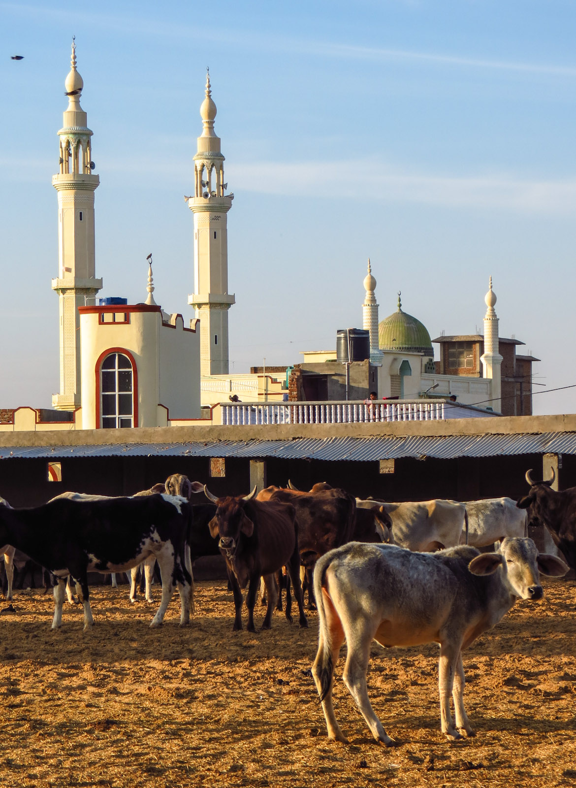 mandawa-mosque-and-cows