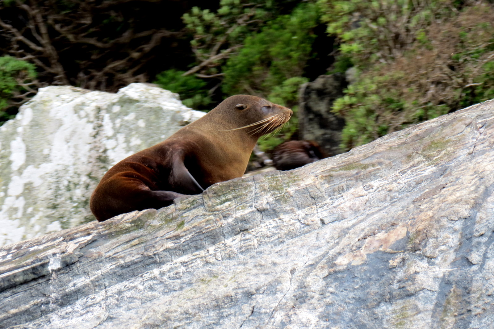milford-sound-fur-seal-rock