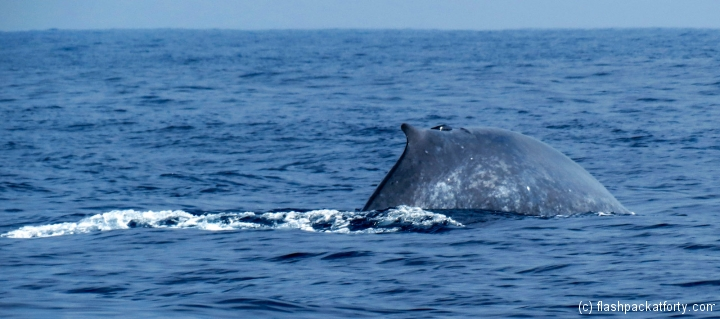 mirissa-whale-with-tail-abut-to-dive