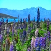Close lupins tekapo