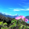 Mount Cook flowers