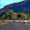 sheep-purakaunui-bay-doc-site