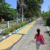 rice-drying-pagudpud-iliocos-norte