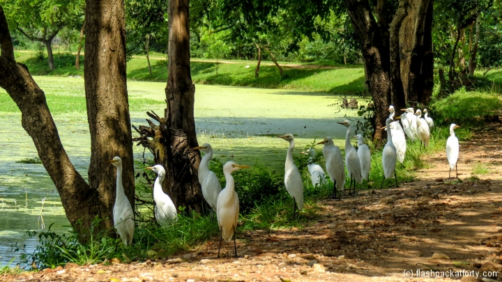 herons-at-lake-polonnaruwa