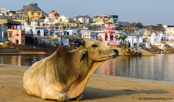 pushkar-cow-with-buildings-and-lake