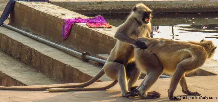 pushkar-fornicating-monkeys