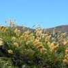 pampas-grass-new-zealand