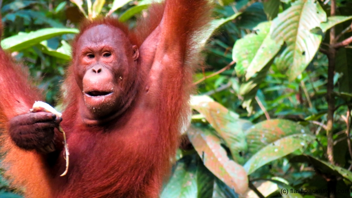 close-up-of-orang-utan-semenggoh