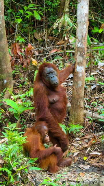 mother-and-baby-orang-utan-semenggoh-kuching