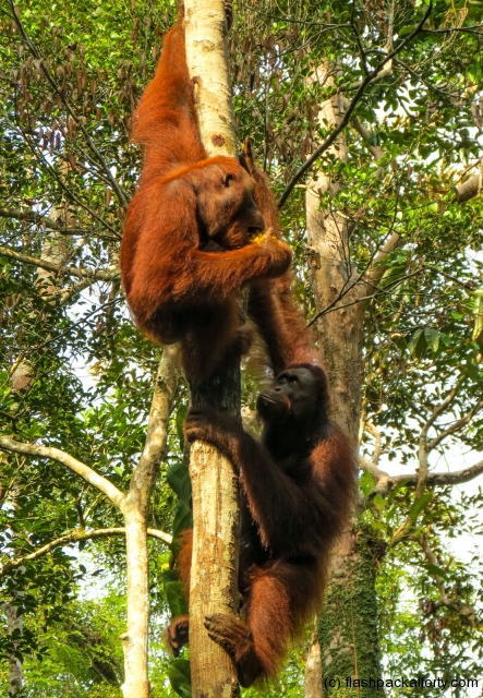 orang-utans-playing-semenggoh-nature-reserve
