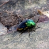 unknown-colourful-bug-kbal-spean
