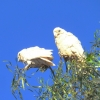 cockatoos-broken-hill