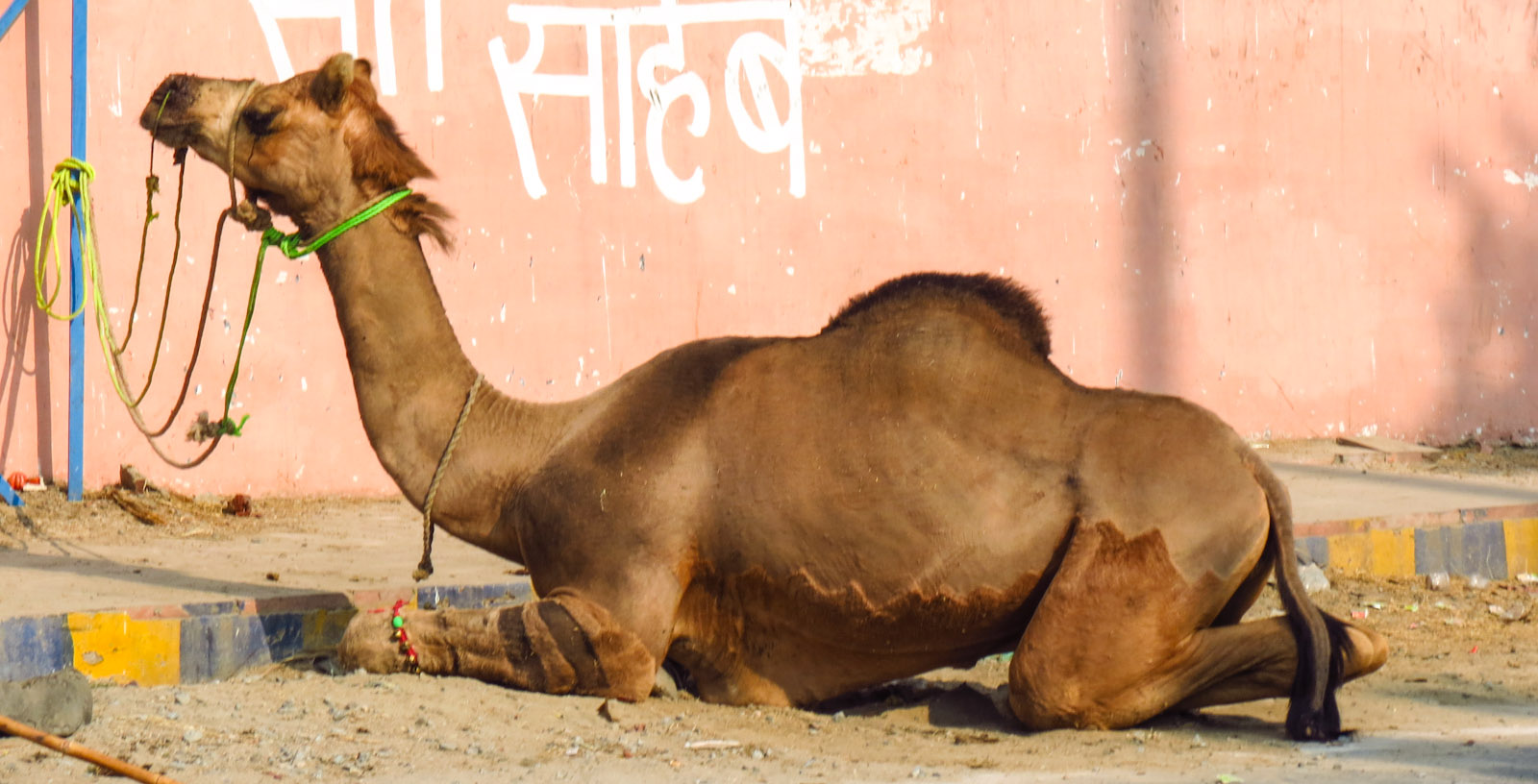 camel-at-agra