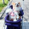 Dog pushchair Ueno Park Japan