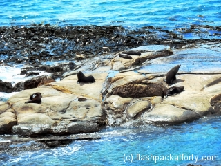 seals-at-shag-point