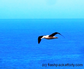 tairora-albatross-in-flight