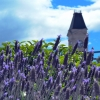 lavendar-oamaru-town-clock
