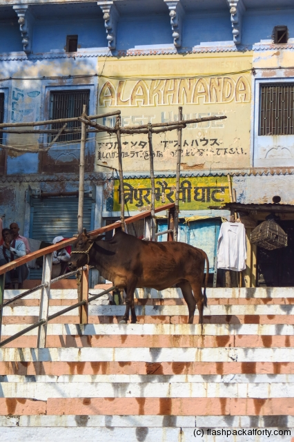 sacred-cow-on-ghats-varanasi-india
