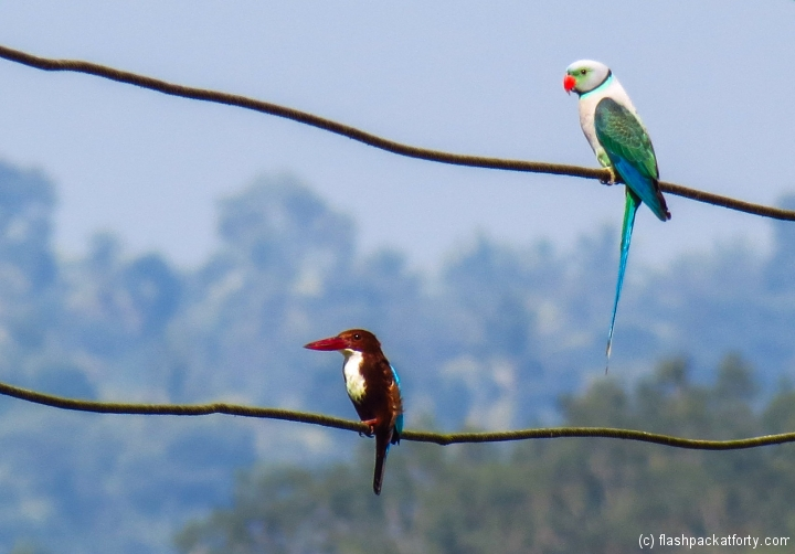 kingfisher-and-parrot-wayanad-kerala