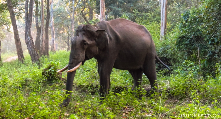 male-elephant-wayanad-tholpetty-wildlife-sanctuary
