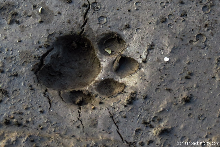 tiger-footprint-wayanad-tholpetty-wildlife-sanctuary