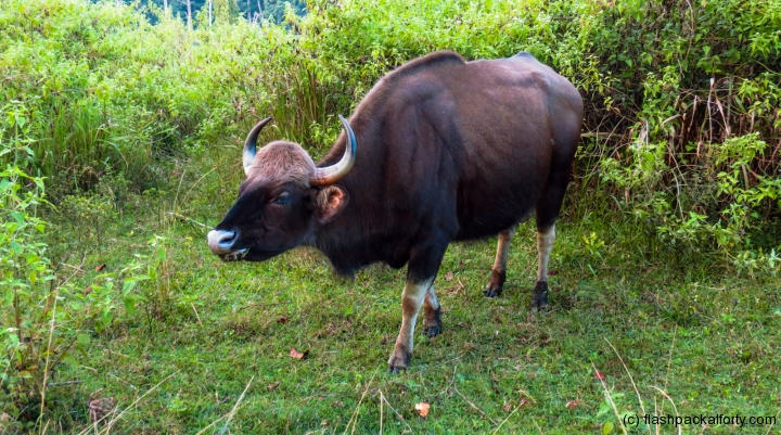 bison-wayanad-tholpetty-wildlife-sanctuary