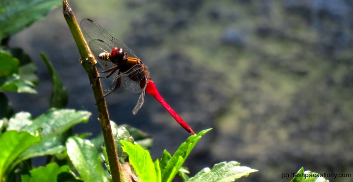 dragonfly-wayanad-india