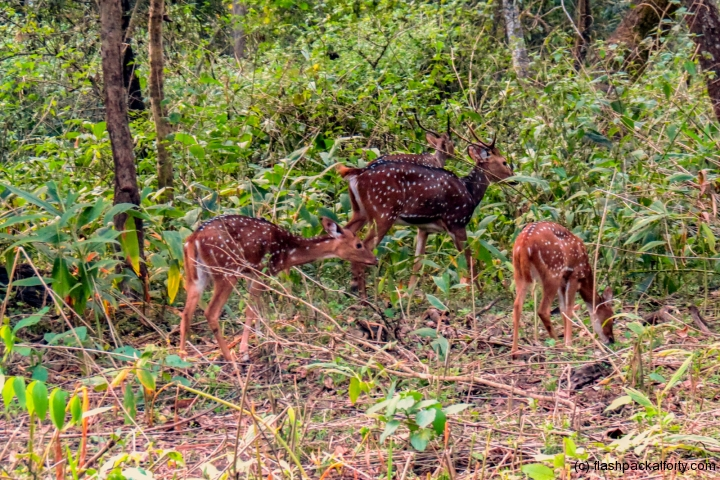 wild-deer-wayanad-tholpetty-wildlife-sanctuary-india