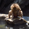 frizzy-snow-monkey-on-rock-at-hot-springs