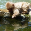 japanese-snow-monkey-playing-in-water