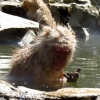 snow-monkey-feeding-whilst-bathing-in-hot-pool
