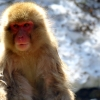 snow-monkey-japan-yudanaka