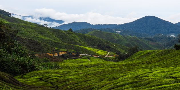 Cameron Highlands: High in Malaysia