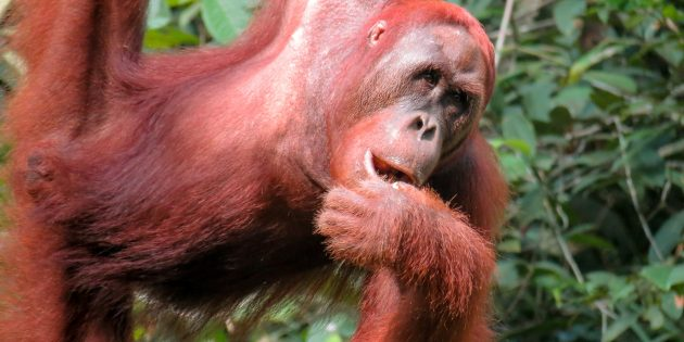 Malaysia: Visiting Wild Orangutan in Borneo