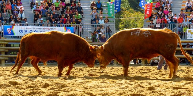 South Korea: Traditional Bullfighting Without The Blood